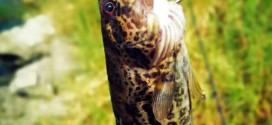 路亚钓法:夏季天热路亚鳜鱼的4个技巧