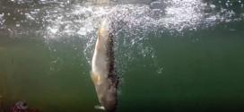 路亚视频:鲈鱼水下就饵视频。。。
